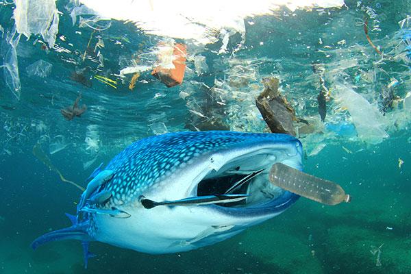 Leopard Shark in Sea Rubbish